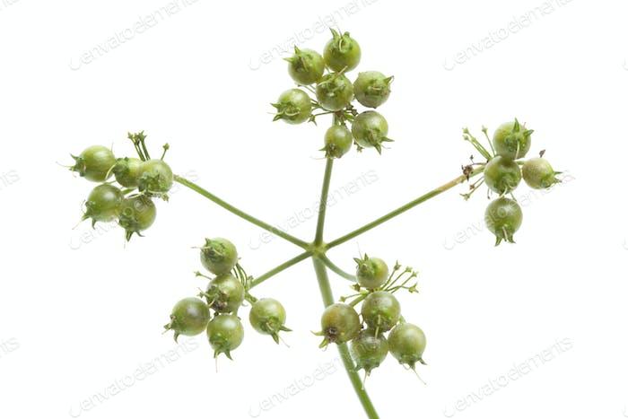 Fresh coriander seed on a sprig