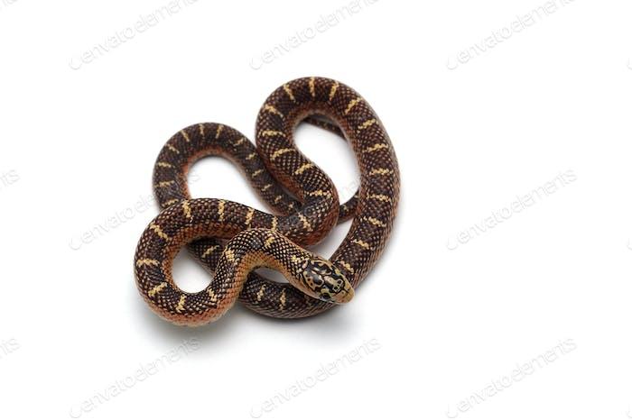 King snake isolated on white background