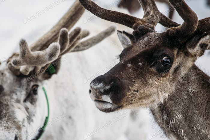Portrait of Norwegian reindeer