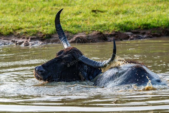 Asian water buffalo or Bubbalus bubbalis