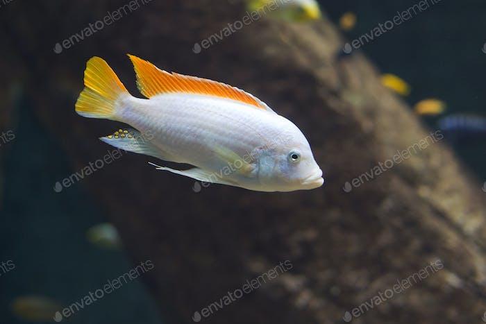 close up on Maylandia hajomaylandi, Malawi Fish
