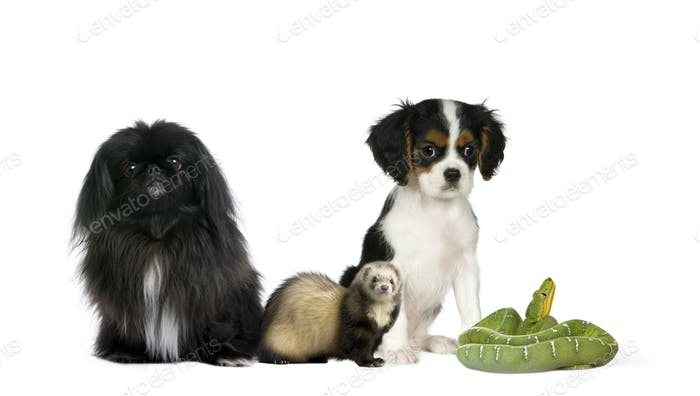 Portrait of dogs, ferret, and green snake in front of white background, studio shot