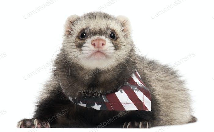 Frettchen trägt amerikanische Flagge Schal vor weißem Hintergrund