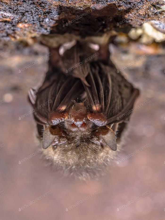 Hibernating Common long-eared bat
