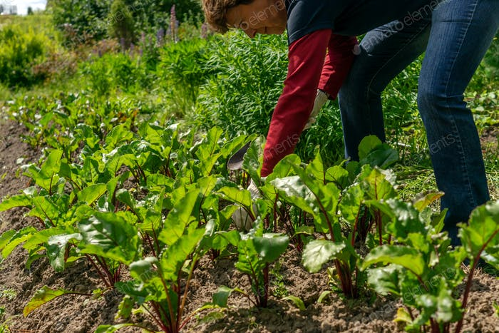 hands clearing weed from the beet bed