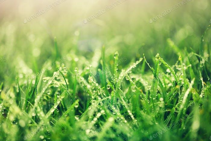 Fresh green grass just after rain.