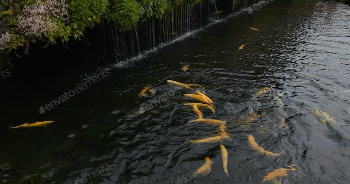 Crap fish swim in the water pond