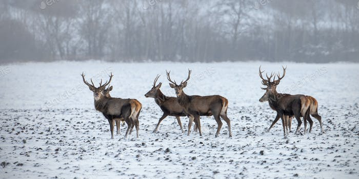 Herd of red deer stags in winter on snow