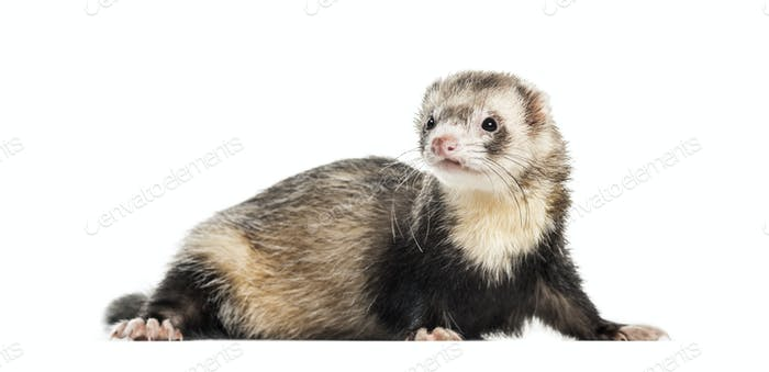 Ferret, 1 year old, lying in front of white background
