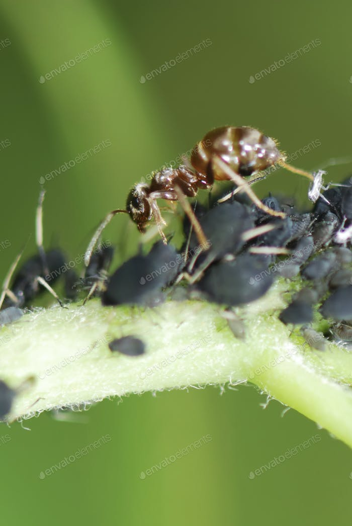 Ant and Lice
