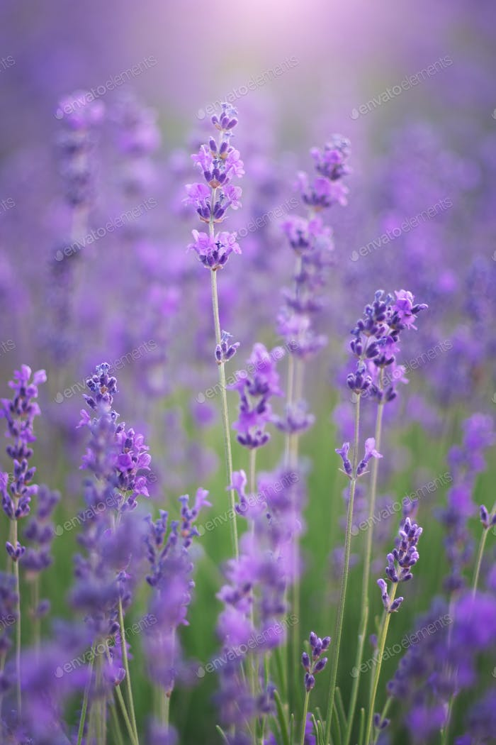 Lavendelblüten natur