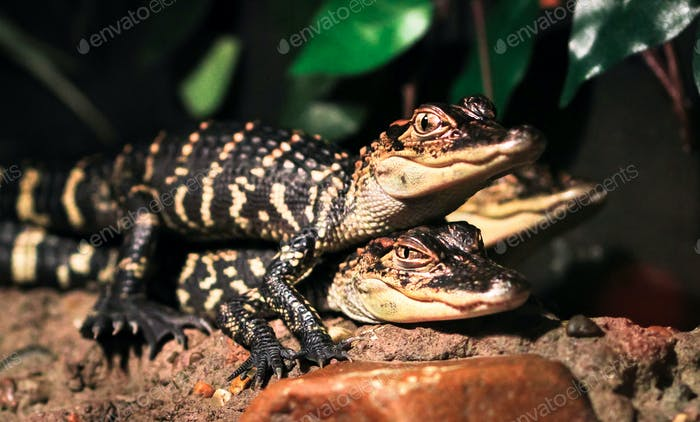 American Alligator Juveniles On Top of Each Other