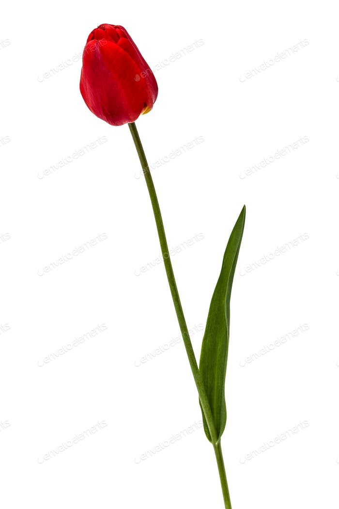 Flower of red tulip, isolated on white background