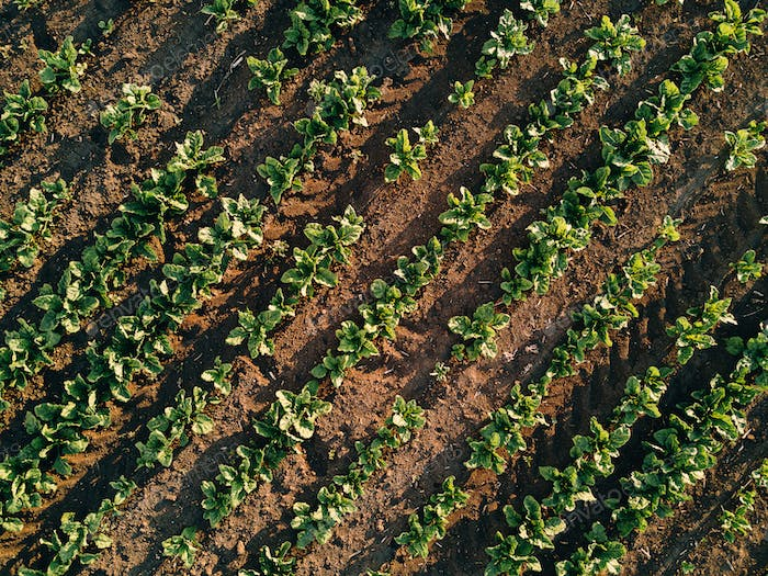 Aerial view of sugar beet field, drone pov top view