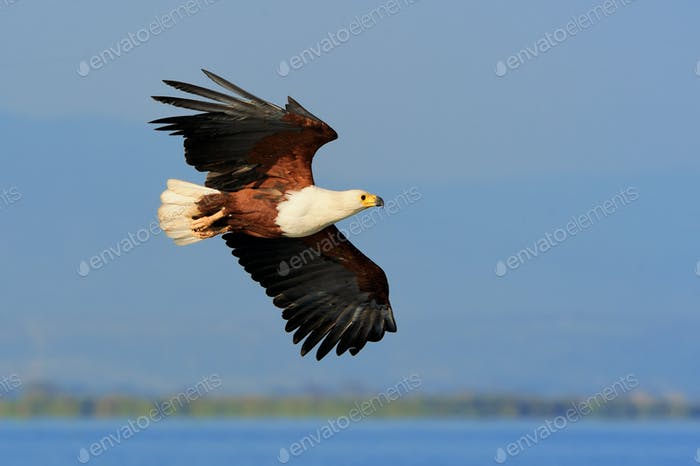 African Fish Eagle flying against blue sky