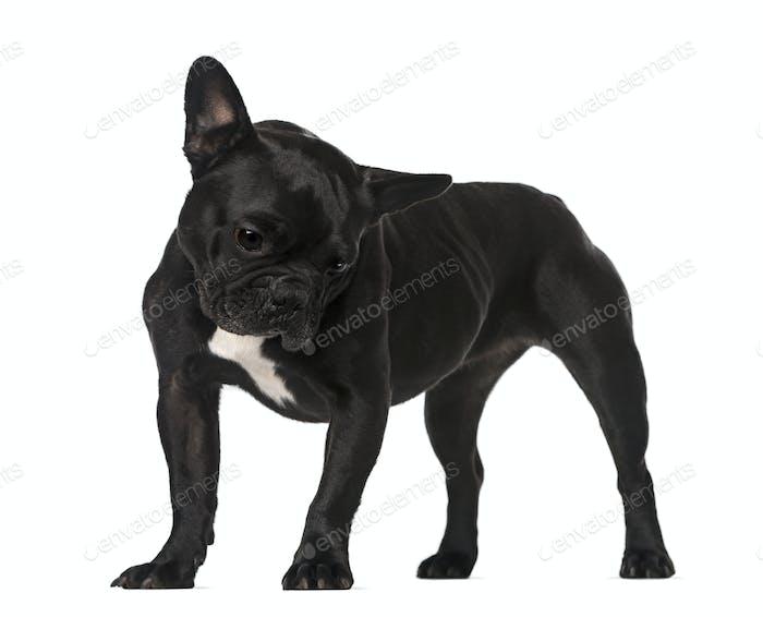 French Bulldog (6 years old)