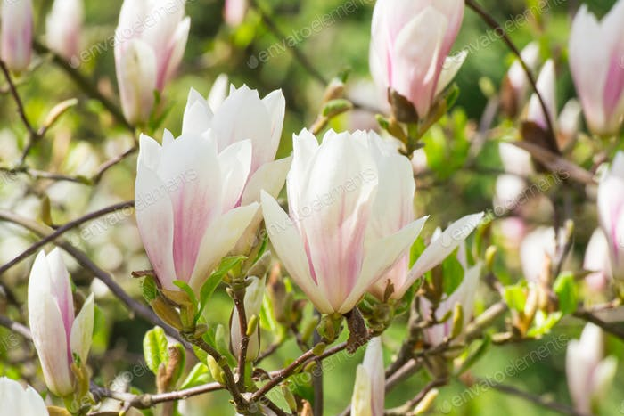 Blooming colorful magnolia flowers in garden or park