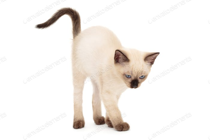 Siamese kitten arched back