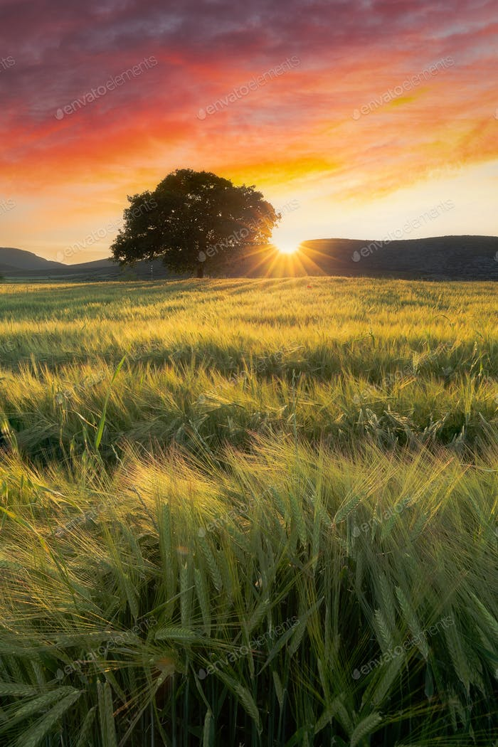 Sunset In A Wheat Field