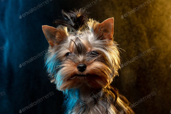 Yorkshire terrier puppy looking at camera isolated on neon colored studio background in smoke cloud