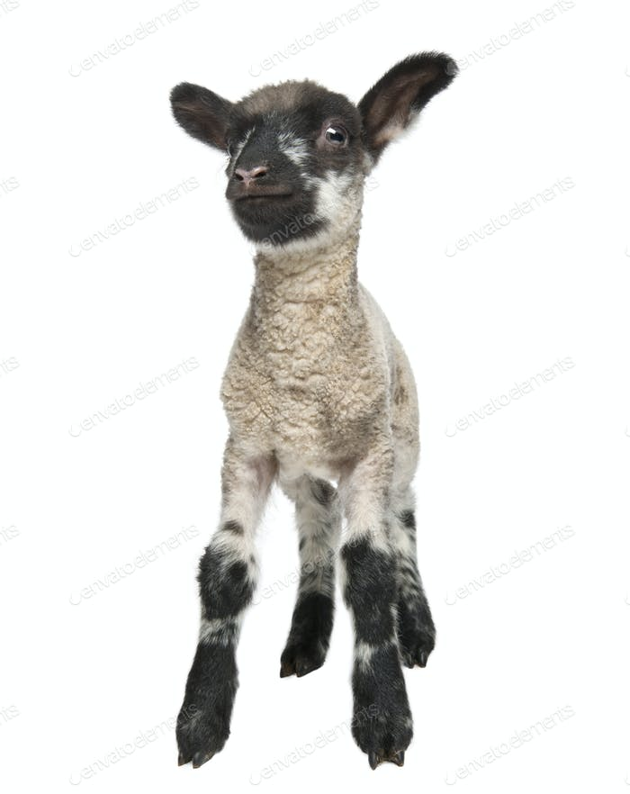 Black and white Lamb facing the camera (15 days old) in front of a white background