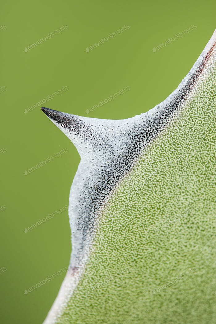 Detail of succulent plant Agave tip of leaf
