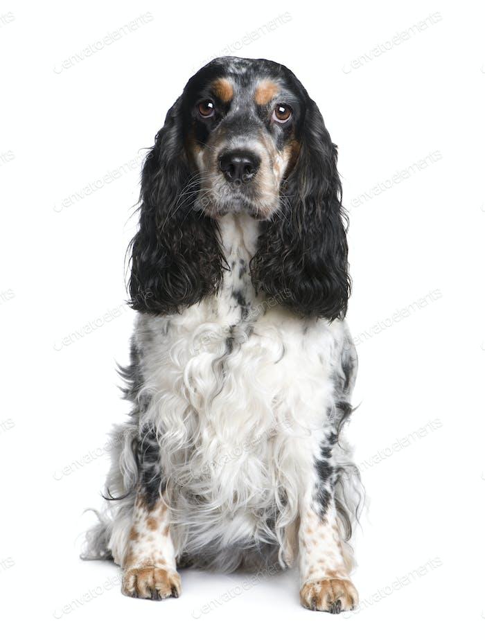 Cocker Spaniel (5 years)