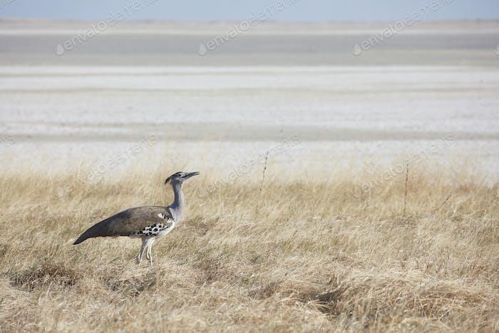 A Kori bustard, Ardeotis kori, a large bird on the ground, in open space.