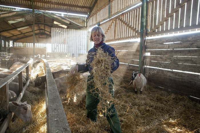 A woman shepherd in blue overalls standing in sheep barn spreading straw bedding.