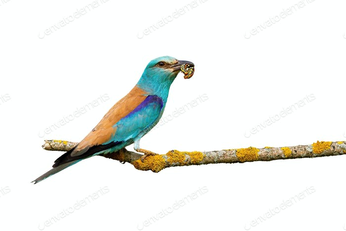 Turquoise european roller sitting on branch isolated on white background