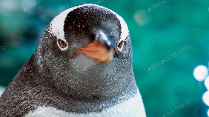 Gentoo Penguin Close Up 2