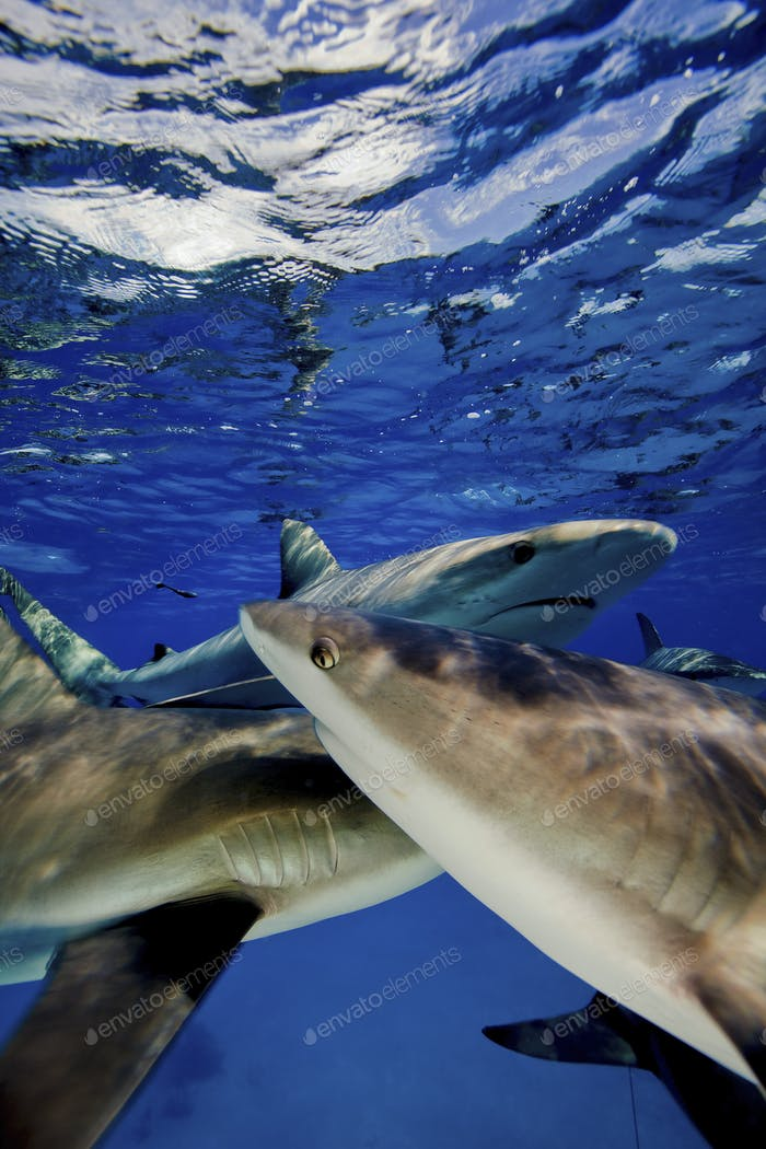 Karibische Riffhaie (Carcharhinus perezi), Fütterungsaktivität, Riffhaie.