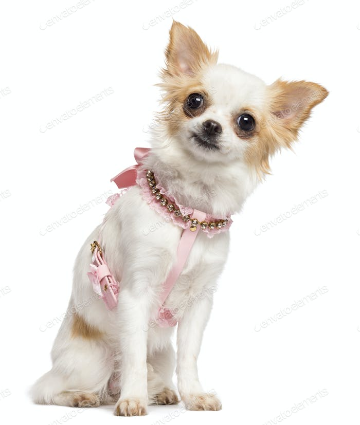 Chihuahua, 1 year old, wearing pink harness sitting and looking at camera against white background