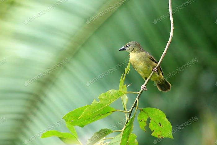 Violet Black Weaver - Bigodi Wetlands - Uganda, Africa