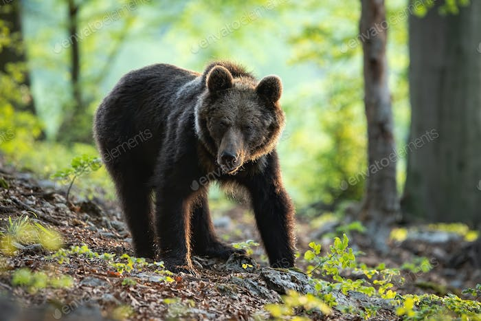 A young brown bear standing in the sunshine of the spring forest