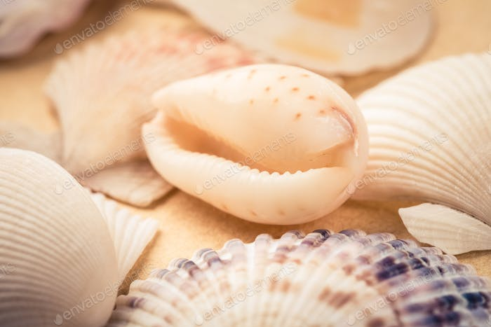 beauty seashells closeup