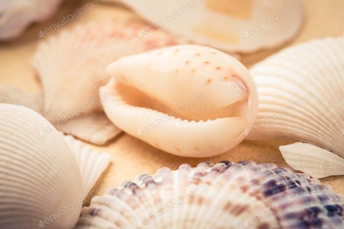 Schönheit Muscheln closeup