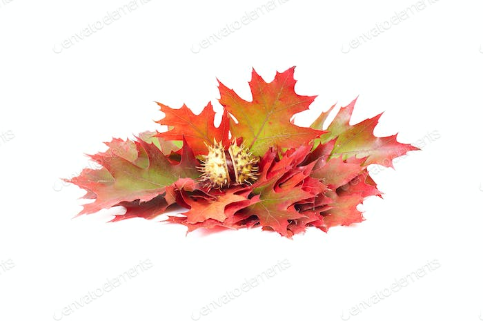 Colorful leaves and one chestnut on a white.