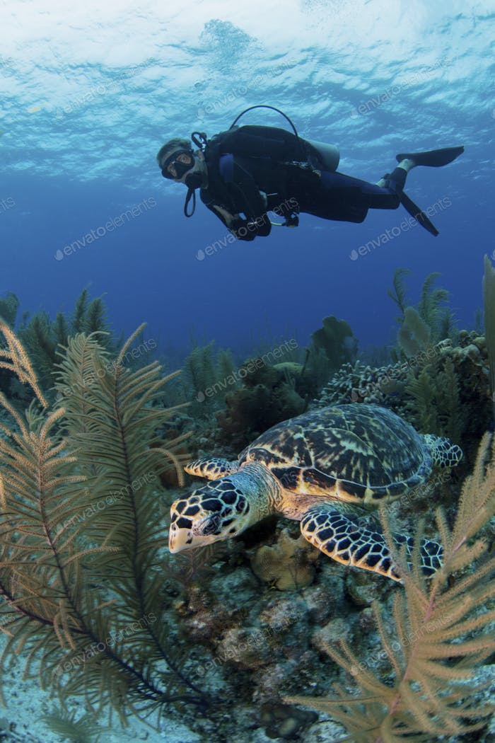 Scuba diver observes a turtle in the Cayman islands