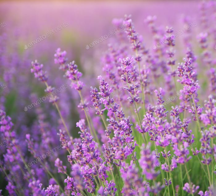 Lavender closeup nature