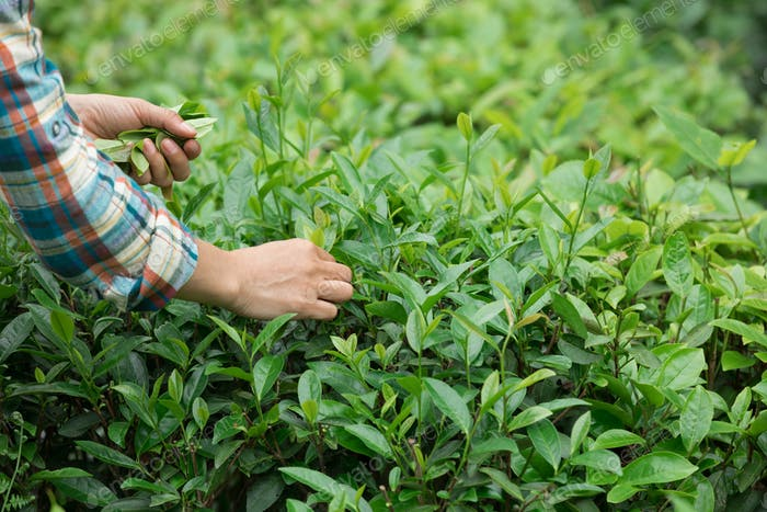 Hands picking tea leaves in garden