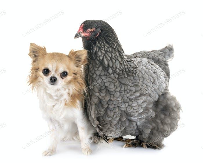 brahma chicken and chihuahua