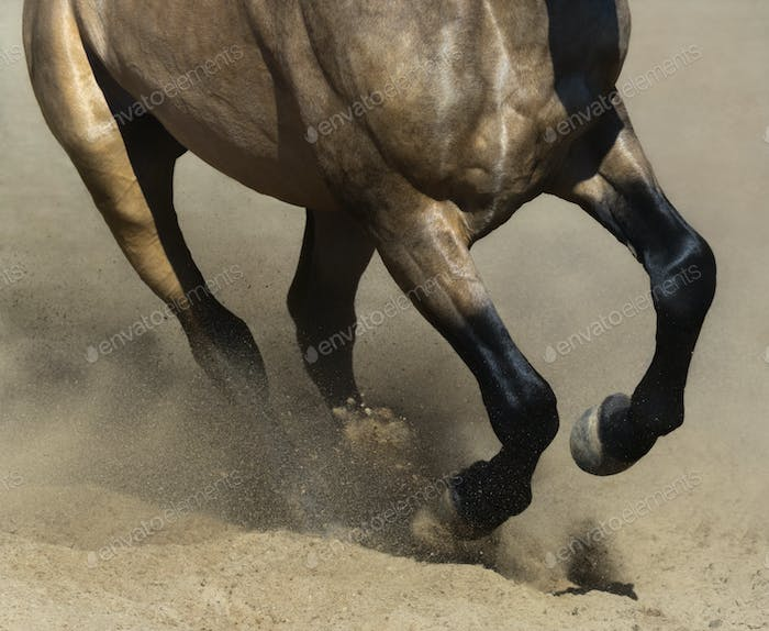 Black legs of running dun horse close up in sand dust.