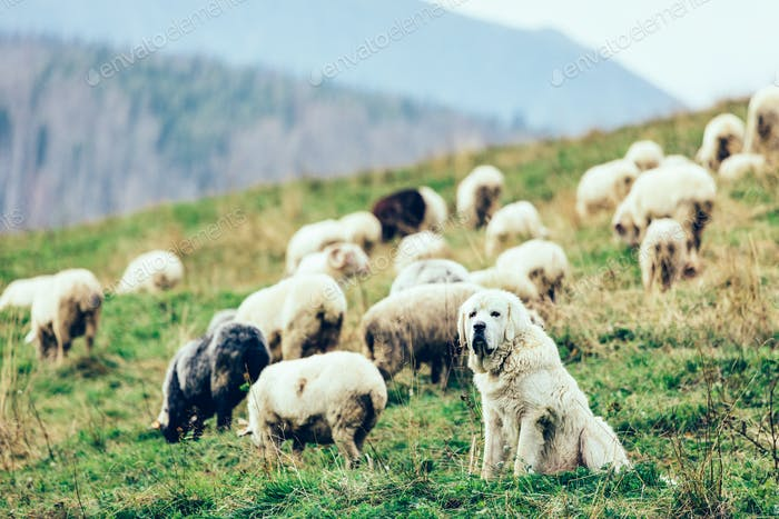 Polish Tatra Sheepdog guards sheep in Tatra Mountains, Poland.