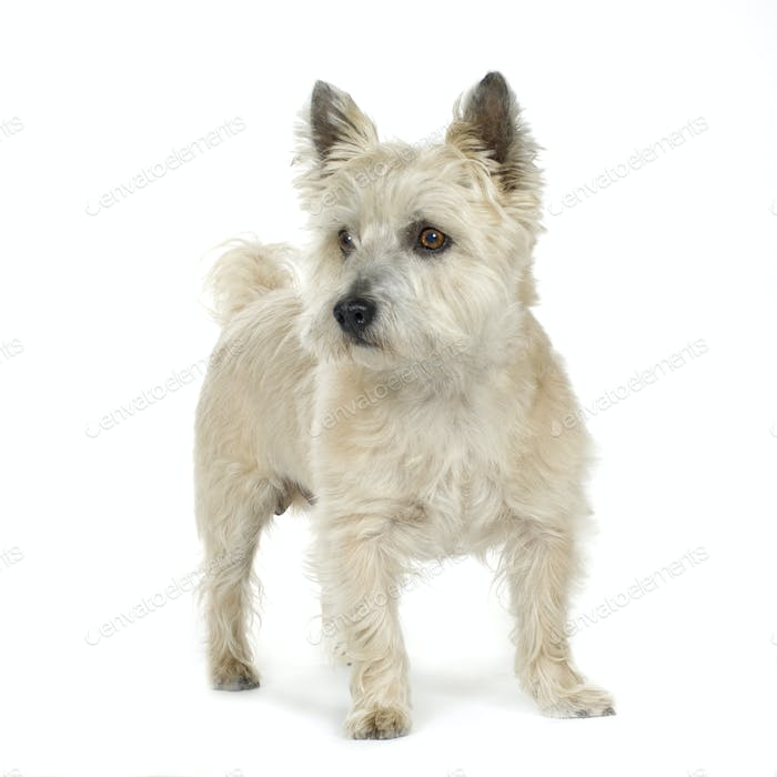 Cairn Terrier (11 years)