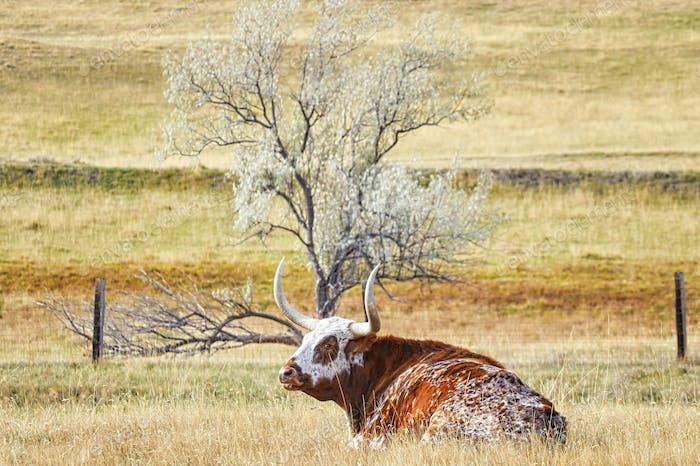 Texas Longhorn cow lying on a dry autumn pasture
