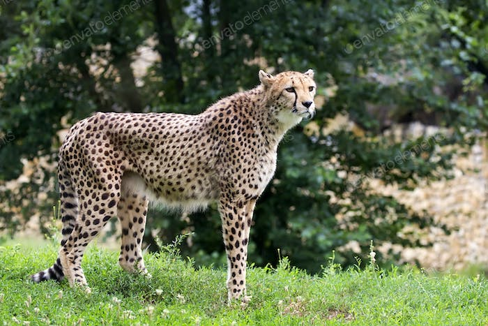 Cheetah in a clearing