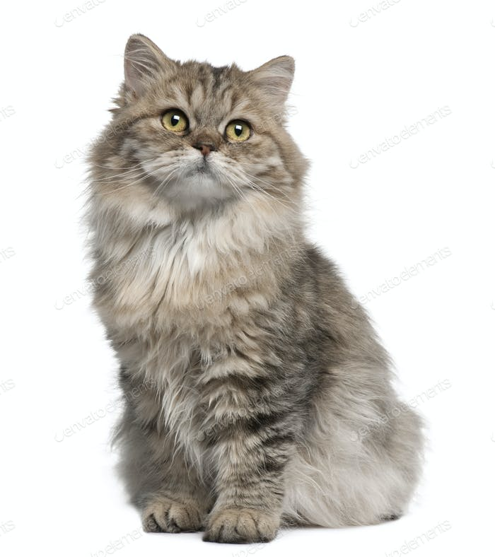 British Longhair kitten, 3 months old, sitting in front of white background