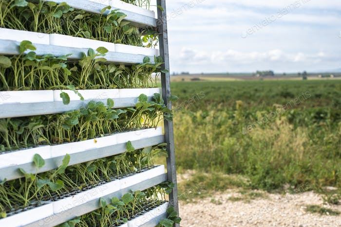 Seedlings in packages placed on shelving in the field.