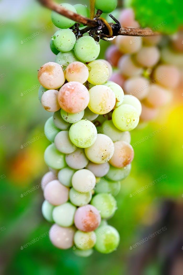 Bündel von rosa Trauben auf der Weinrebe